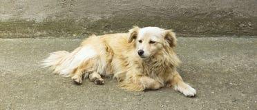 Yellow dog resting in yard. Stock Photos