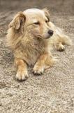 Yellow dog resting in yard Stock Photos