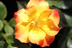 Yellow dog rose flower. With red nuances Royalty Free Stock Photos