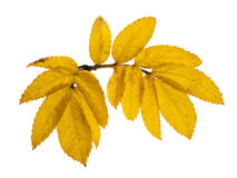 Yellow dog rose leaves Stock Images