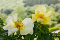 Yellow dog roses Royalty Free Stock Photography