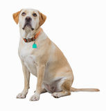 Yellow dog sitting looking up isolated on white background. Yellow dog with collar isolated on white. Dog has orange collar with green tag Royalty Free Stock Photo