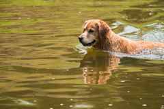 A swimming dog Royalty Free Stock Image