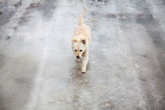 Yellow dog walking on thin ice in wintertime Stock Images
