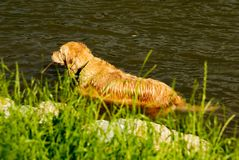 Yellow dog in the water Stock Images