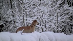 Yellow dog in the winter forest. ground and trees are covered with snow. Yellow dog stands in the winter forest. It`s snowing, the ground and trees are covered stock footage