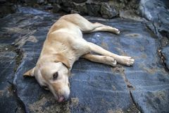 Yellow dog. Is lying on a big rock royalty free stock photos
