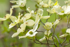 Yellow Dogwood Blossom Royalty Free Stock Images