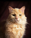 Yellow domestic cat Stock Image
