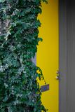 Yellow door and ivy bush royalty free stock image