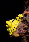 Yellow dorid nudibranch Royalty Free Stock Images
