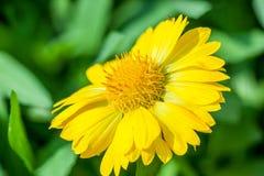 Yellow Doronicum bloom Royalty Free Stock Photography