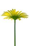 Yellow doronicum Royalty Free Stock Photography