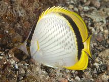 Yellow-dotted butterflyfish Stock Photography