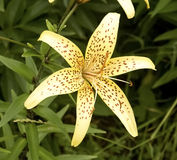 Yellow dotted lily Royalty Free Stock Image