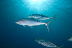 Yellow dotted trevally (carangoides fulvoguttatus) Royalty Free Stock Photos