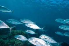 Yellow dotted trevally (carangoides fulvoguttatus) Royalty Free Stock Images