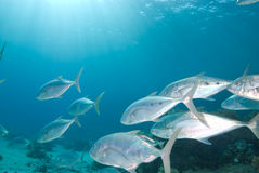 Yellow dotted trevally (carangoides fulvoguttatus) Stock Photos