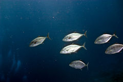 Yellow-dotted trevally (carangoides fulvoguttatus). Taken in Middle Garden Stock Photos