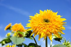 Yellow double sunflower. Close up yellow double sunflower under blue sky Stock Photography