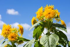 Yellow double sunflower. Lot of yellow double sunflowers under blue sky Stock Photo