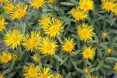 Yellow Downy Elecampane (Inula hirta) Royalty Free Stock Images