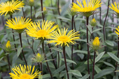 Yellow Downy Elecampane (Inula hirta) in a garden in Goettingen , Germany Royalty Free Stock Image