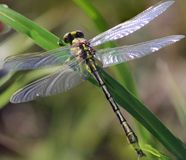 Yellow dragon fly on grass Stock Images