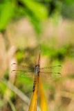 Yellow dragon fly on pineapple leaf Stock Photography