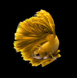 Yellow dragon siamese fighting fish, betta fish isolated on blac. K background royalty free stock images