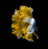 Yellow dragon siamese fighting fish, betta fish isolated on black background. royalty free stock photo