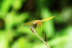 Yellow dragonfly on green leaves. stock images