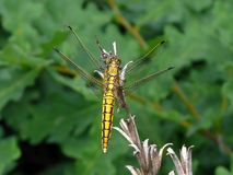 Yellow dragonfly. A yellow dragonfly on the green background Royalty Free Stock Images