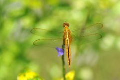 Yellow Dragonfly Stock Photo