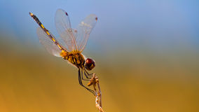 Yellow Dragonfly Royalty Free Stock Images