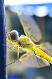Yellow dragonfly Stock Image