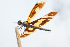 Yellow Dragonfly Royalty Free Stock Photos