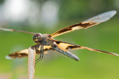 Yellow Dragonfly Royalty Free Stock Photo