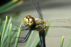 Yellow dragonfly. Resting on pine needles Stock Photo
