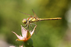 Yellow dragonfly(Brachytron Pratense) Stock Photography