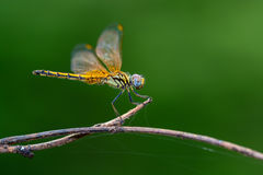 Yellow dragonfly on branch. Beautiful dragonfly on branch with green background Stock Photography