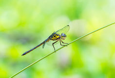 Yellow dragonfly on branch. Royalty Free Stock Image