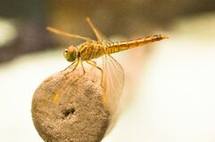 Yellow Dragonfly on Brown Wooden Stick during Daytime Royalty Free Stock Images