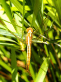 Yellow Dragonfly Stock Photos