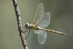 Yellow Dragonfly Stock Photos
