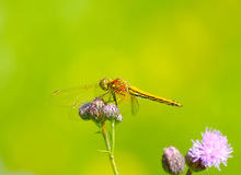 Yellow dragonfly on a flower Royalty Free Stock Photos