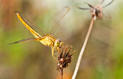 Yellow Dragonfly on  flower Royalty Free Stock Image