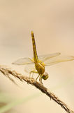 Yellow Dragonfly In The Garden Royalty Free Stock Images