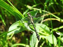 Yellow dragonfly on grass, Lithuania Royalty Free Stock Photos