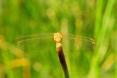 Yellow dragonfly. With Green Backgrond stock image